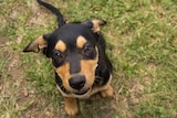 A kelpie pup sits on the grass.