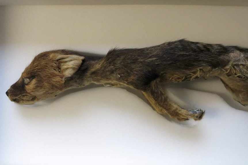 Stretched out joey body taxidermized