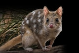 Photo of spotted quoll with black background