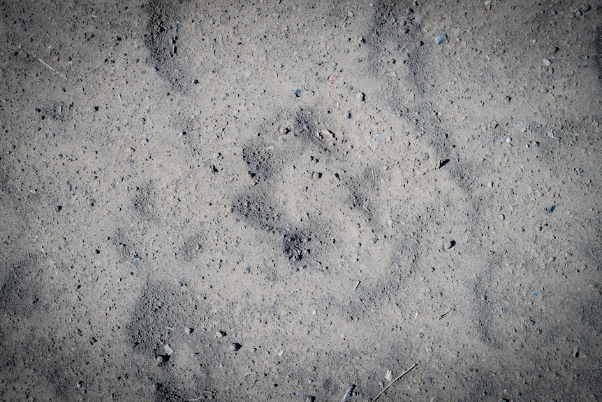 A close up photo of what looks like a dingo's paw print in the earth.