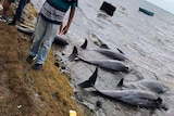 dolphins lay dead on the shore on the Indian Ocean island of Mauritius as people stand nearby