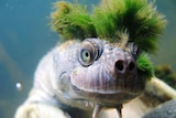 An endangered Mary River turtle swims with a punk-like moss hairstyle.
