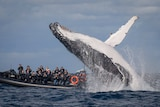 Humpback whale breaching in front of a whale watching boat