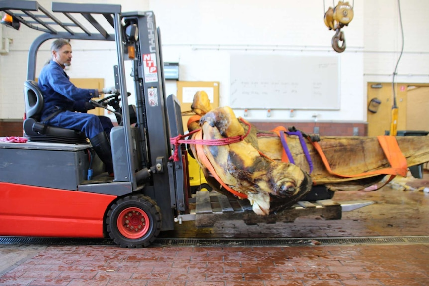 A man in a blue jumpsuit sitting in a forklift transports the upper jaw of a humpback whale, which is tied to the vehicle.