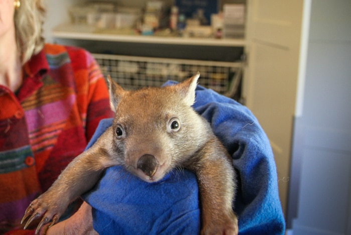 Ms Schweth holding a wombat in a pouch