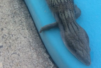a blue-tongue lizard lying on the side of swimming pool surround