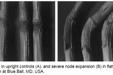Photos of bent plant nodes, published in a Danish journal in 1999.