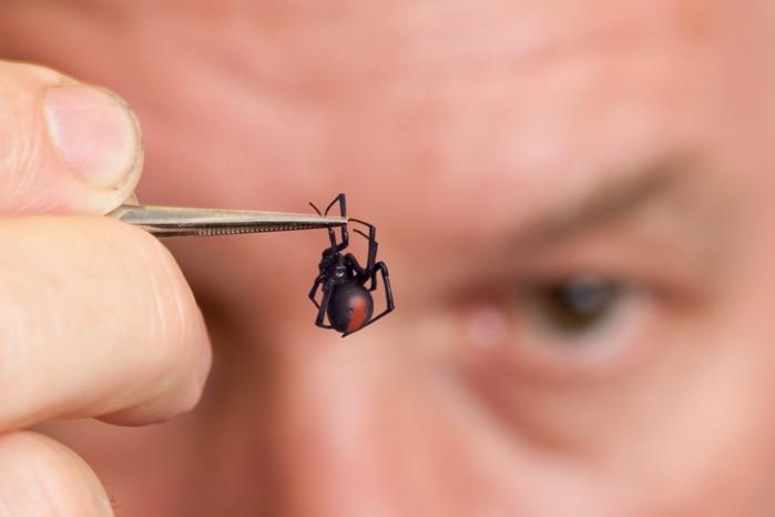 Head Arachnologist at Queensland Museum, Dr Robert Raven, holds a redback spider in some tweezers.