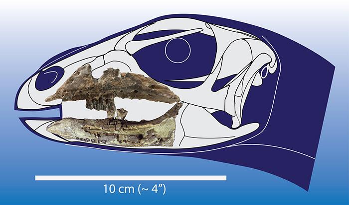 Model of Galleonosaurus skull