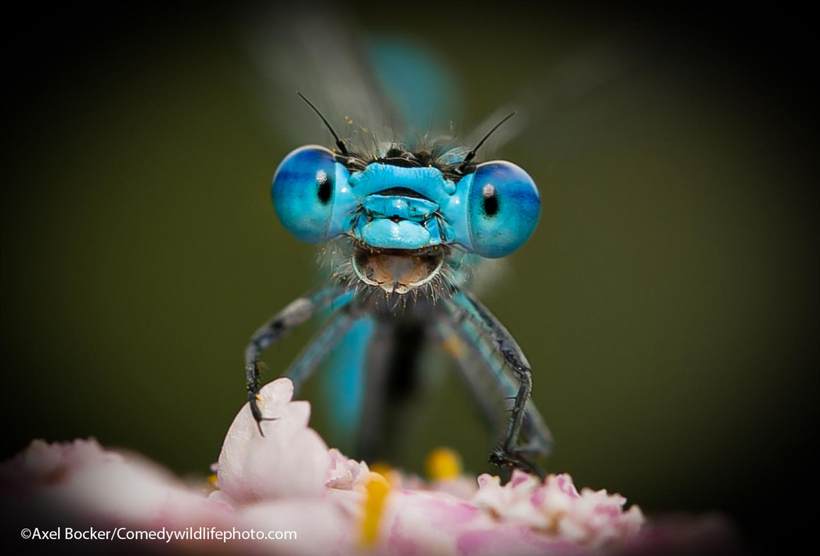 A dragonfly looks like it's laughing into the camera.