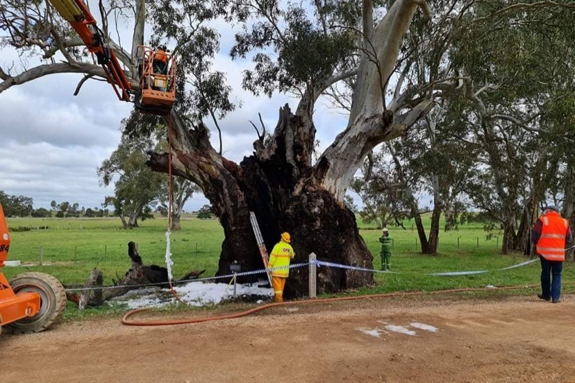 A crane being used to secure the limb of a tree damaged by fire.