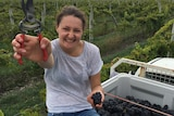 Alice Baker in the back of a ute with pruning shearers and grapes cut off a vine.
