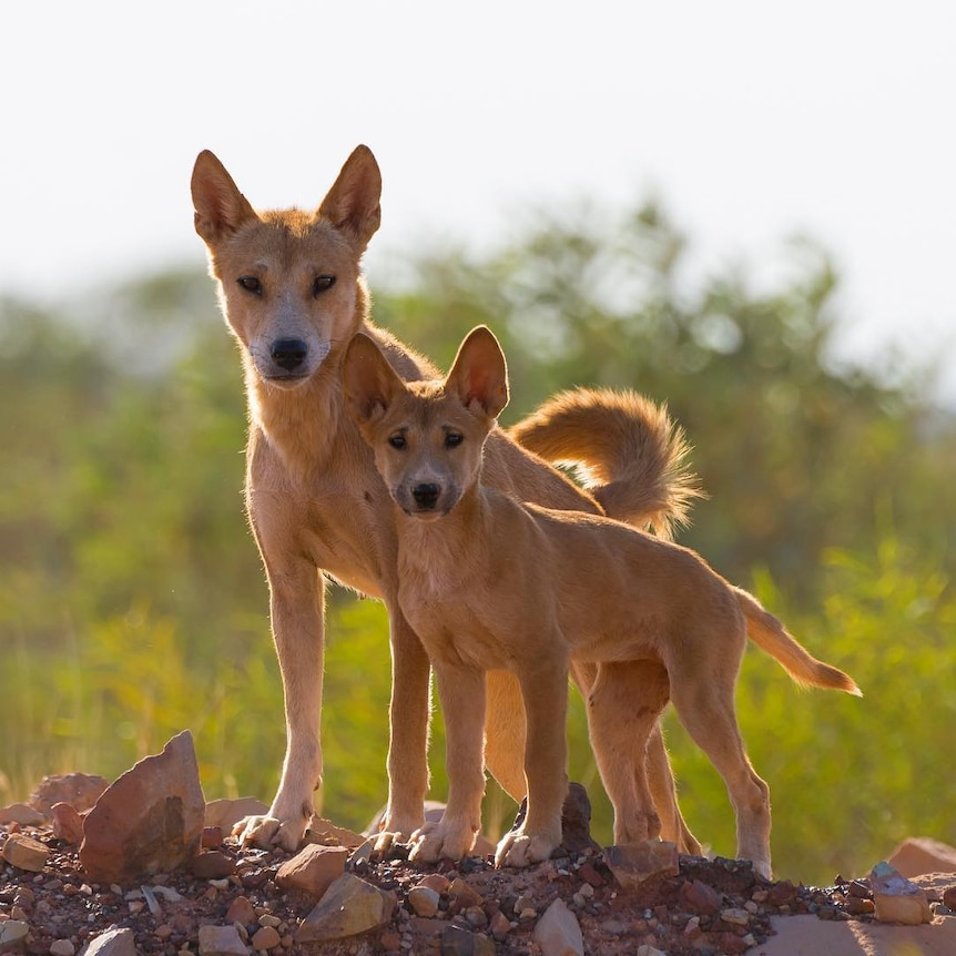 Mother and pup dingo look at camera
