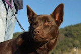 The two-year-old kelpie has undergone further tests to confirm the level of hendra antibodies in his body
