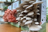 White oyster mushrooms grow from a carboard box, with a pink version behind on a table.