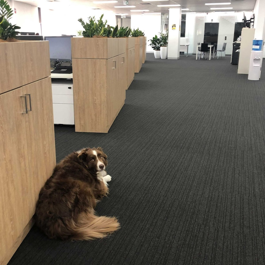 Milo lies down on the carpet of the office where his owner works in Newcastle for a story on office dogs.