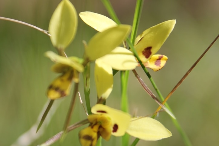 A delicate yellow and red flower against a background of green grass.