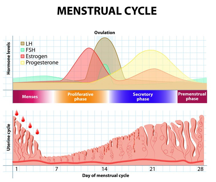 A chart showing the hormone levels and uterine cycle