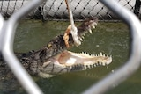 A 2.6 metre saltwater crocodile caught in a trap with a rope around its upper jaw off Four Mile Beach in Port Douglas