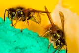 Two wasps crawl over a green crystalline substrate