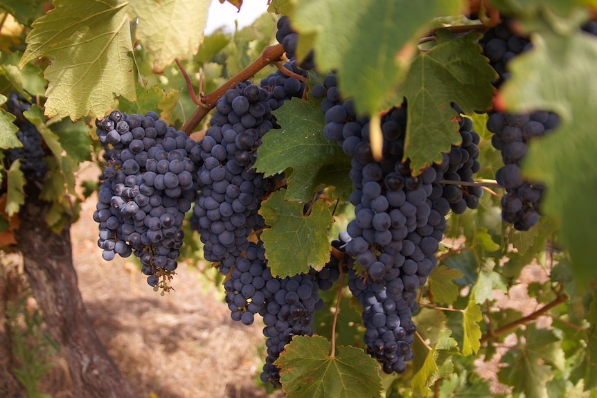 Several bunches of grapes hanging from the vine