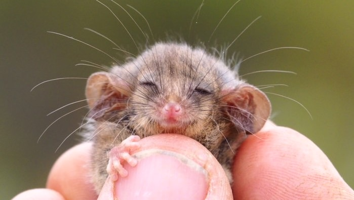 A tiny possum being held in fingers