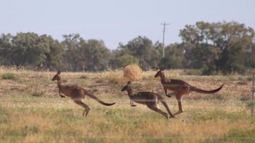 Kangaroos jumping in green grass.