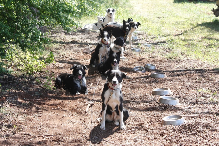 Sheep dogs waiting patiently at the trials in Campbell Town