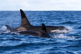 Killer whale and calf.