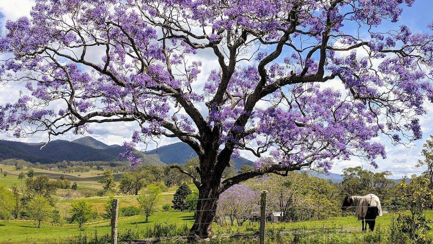 Why There S A Lot More To Love About Jacarandas Than Just Their Purple Flowers Abc News