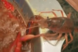 A crayfish is sitting on the edge of a hotpot at a restaurant as it cuts its own claw off.