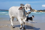 Large white bull stands in the shallows at the beach with playful dog and crashing waves in the background.