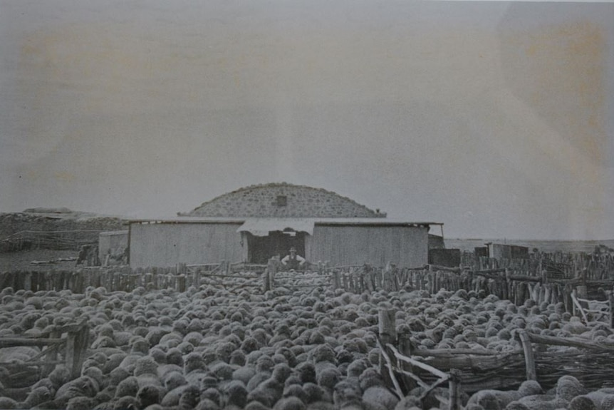 A large mob of sheep congregate in a wooden pen in front of a large stone woolshed with a curved roof with a man near its door.