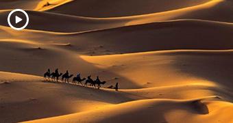 Wide generic shot of a line of camels walking across a sandy desert.