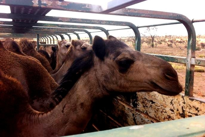 Close shot of camels on a truck.