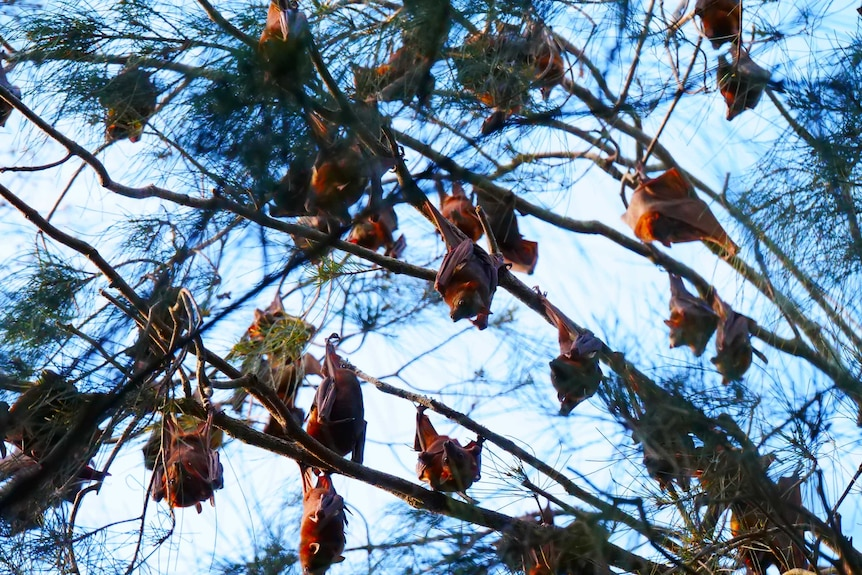 Bats hang from the branches of a tree.