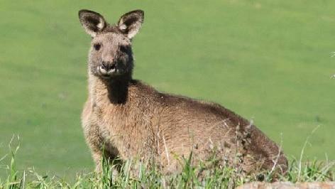 Kangaroo at Mt Painter