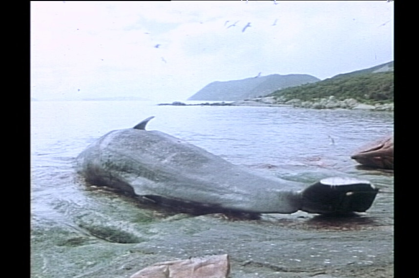A sperm whale is processed at Cheynes Beach Whaling Station