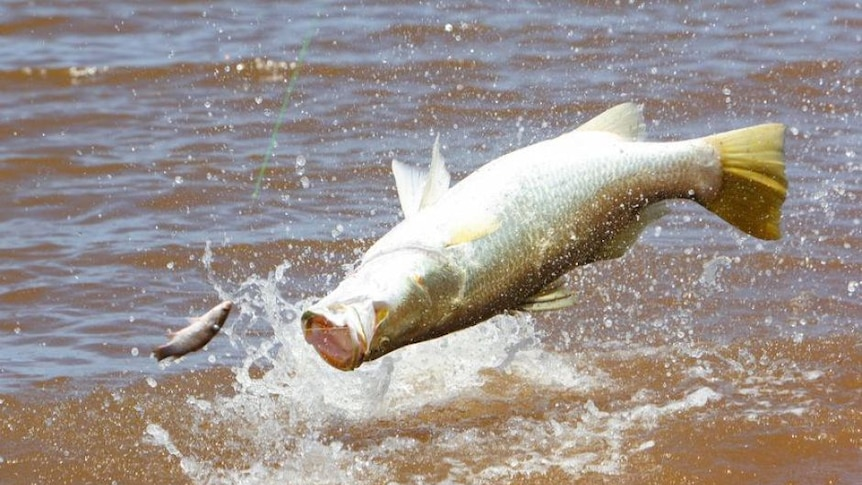 Barramundi jumps to take lure
