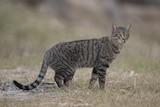 A dark brown striped feral cat standing in grass in Australia