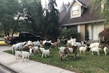 A herd of goats munch on someone's front lawn in an Idaho town.