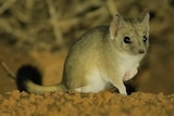 A small marsupial in the desert.