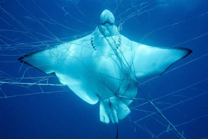 A ray is caught underwater in a shark net