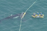 A baby humpback is caught in shark nets, with its mother nearby. Three people on a boat stand, trying to release it.