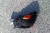 Most of the dead birds were red-winged black birds.