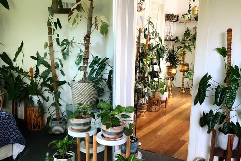Many of pot plants fill a living room, resting on the coffee table, walls and wooden floor