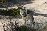A feral cat behind shrubs in sand dunes on Dirk Hartog Island.