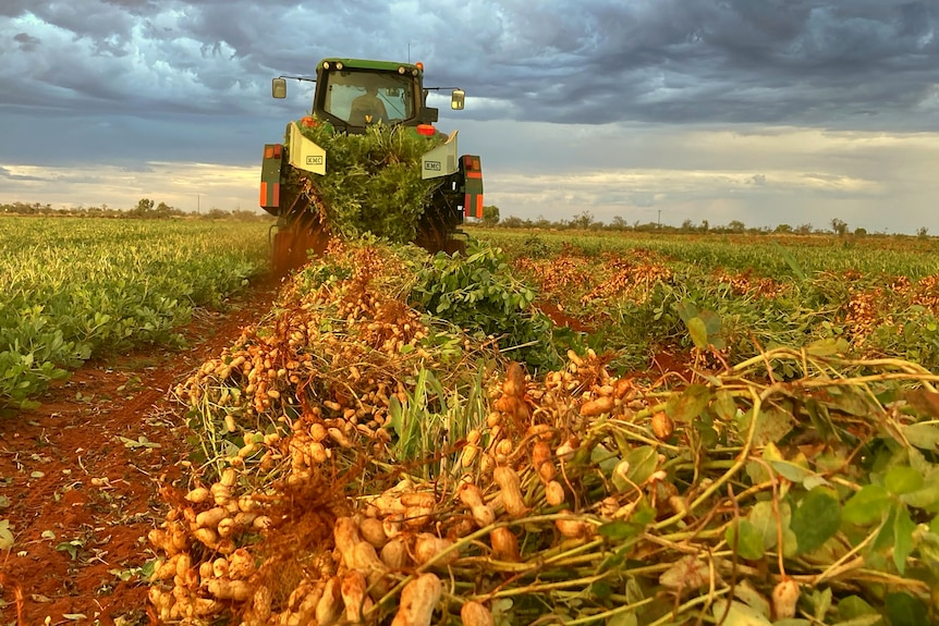 A peanut digger is pulling out peanuts in a paddock in the NT.