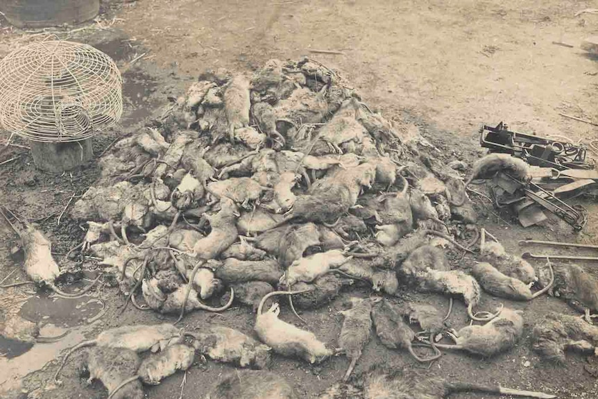 A sepia-toned image of a pile of dead rats on the ground
