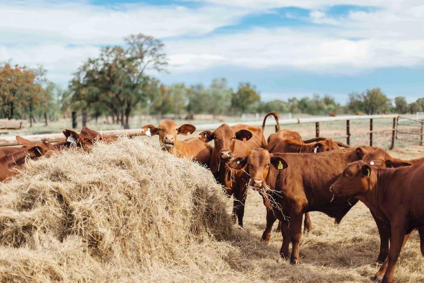 Cattle munch on hay